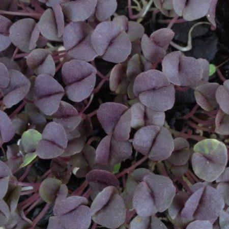 Purple Basil1