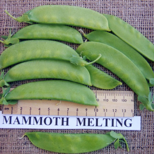 Mammoth Melting Fairbanks Seeds