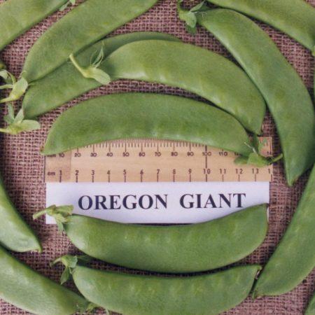 Oregon Giant1