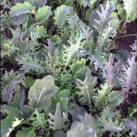 Southern Cross baby leaf kale mix